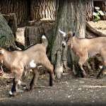 mini zoo na zámku Schlosshof